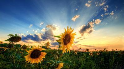 Au levé du jour, champ de tournesol relèvent leur corolle pour se tourner vers le soleil
