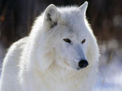 Weisser Wolf