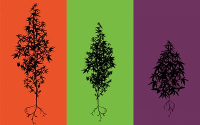 cannabis hybride