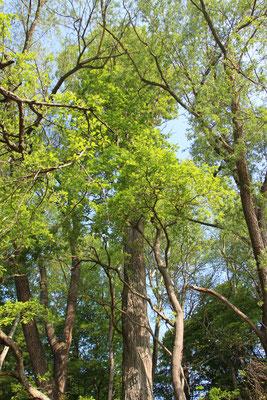 Schwarz-Pappel (Populus nigra), RoteListe: 2 stark gefährdet, Bild Nr.713, Bild v. Nick E. (19.4.2020)