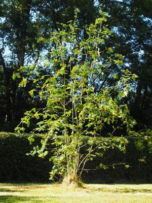 Die Esche - hier noch grün - wird bis Ende Monat orange
