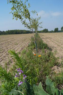 Agroforstsystem mit Blühstreifen auf dem Acker im Frühjahr