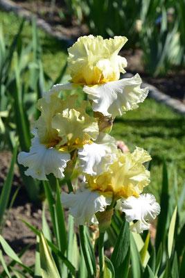 02.06.2020 - Hohe Bartiris eigene Sämling - Tall bearded Iris own seedling