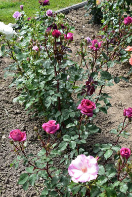 09.07.2020 - eigene Rosen-Sämling / own rose seedling