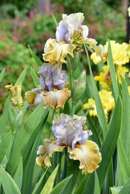 30.05.2020 - Hohe Bartiris / Tall bearded iris 'Mille Sei'
