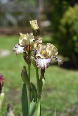 23.05.02021 Iris 'Zazzarazah' Bianco 2010 (MTB)