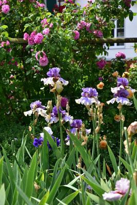 08.06.2020 - Hohe Bartiris / Tall bearded Iris 'American Maid'