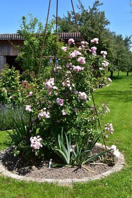 23.06.2020 - Rose 'Guirlande Rose'