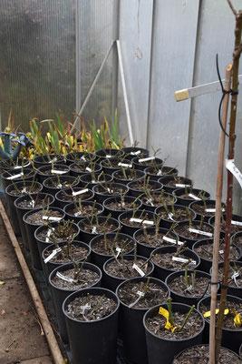 23.12.2020 - Treibhaus Rosen - Greenhouse roses