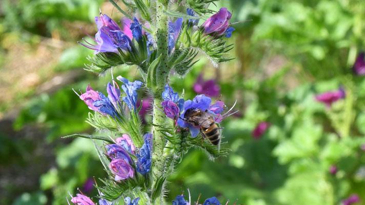 Der Natterkopf (Echium vulgare) ist bei Bienen und Hummeln sehr beliebt