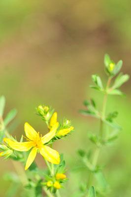 夏至に花が咲くセントジョーンズワート(西洋オトギリソウ)