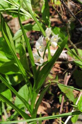 Cephalanthera longifolia ( Langblättriges Waldvögelein)