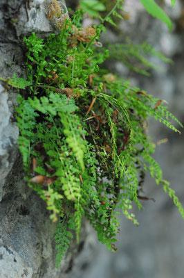 Asplenium fontanum ( Quell-Streifenfarn)