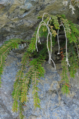 Taxus baccata ( Eibe) mitten aus einem Felsspalt