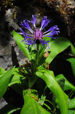 Centaurea montana ( Berg-Flockenblume)