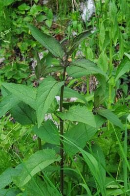Scrophularia nodosa ( Knotige Braunwurz)