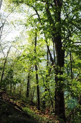Wald-Ausschnitt Lindenwald