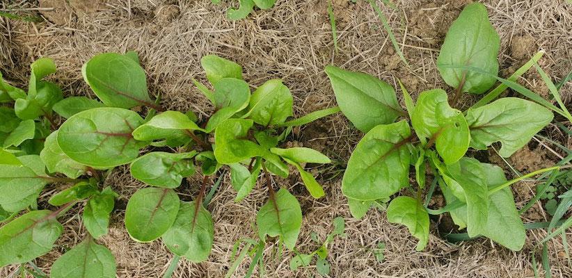 Ein rot-gestreifte Spinat-Sorte, die ich seit 2018 vermehre.