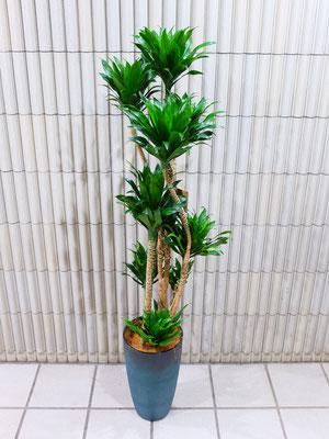 ドラセナ h:135cm ¥11,500-(tax込)【SOLDOUT.】