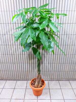 パキラ ¥16,500-(tax込) h :  160cm
