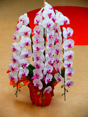 胡蝶蘭 ¥33,000-(tax込) 上品な立ち姿です!