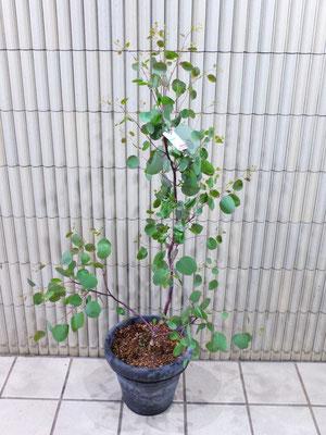 ユーカリ・ポプラス ¥14,300-(tax込) h :  150cm