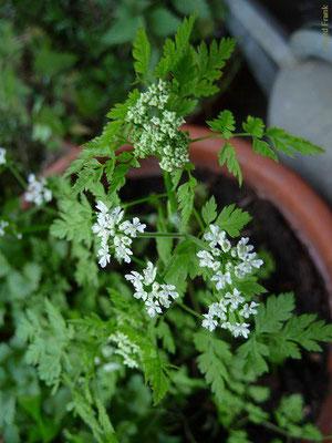Anthriscus cerefolium - Garten-Kerbel
