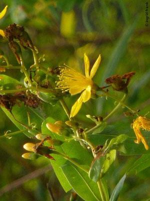 Hypericum canariense - Kanaren-Johanniskraut (La Gomera)