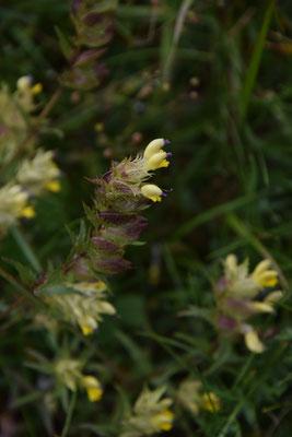 Rhinanthus aristatus