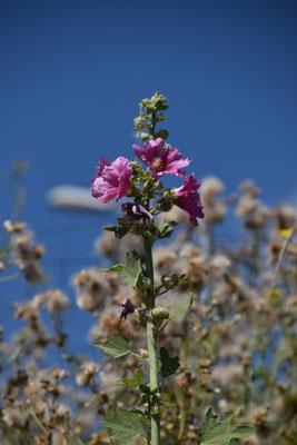 Alcea rosea - Stokroos