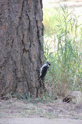 Eine unserer vielen Vogelsichtungen: ein Specht.