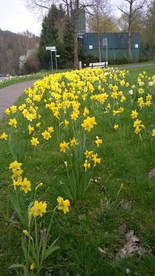 Volpriehausen wird für ein paar Wochen im Frühjahr gelb- schön, was man aus schlichtem Straßenbegleitgrün so alles machen kann!