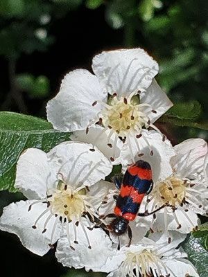 Käfer auf Zweigriffligem Weissdorn