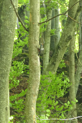Buntspecht Männchen