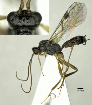 Meteorus flavicoxa Maeto, 1986 キアシクロハラボソコマユバチ ♀ [det. Shunpei FUJIE]