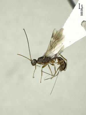 Spathius depressithorax Belokobylskij, 1998 ♀ [det. Shunpei FUJIE]