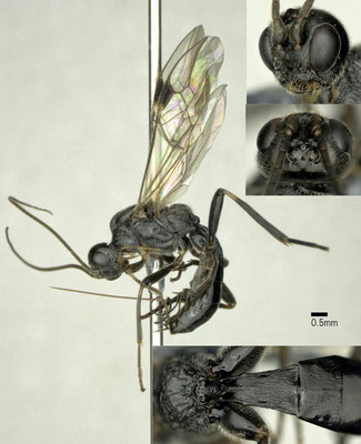 Meteorus corax Marshall, 1898 カミキリハラボソコマユバチ ♀ [det. Shunpei FUJIE]