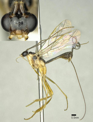 Macrocentrus thoracicus (Nees, 1811) ヒゲナガシンクイヤドリバチ ♀ [det. Shunpei FUJIE]