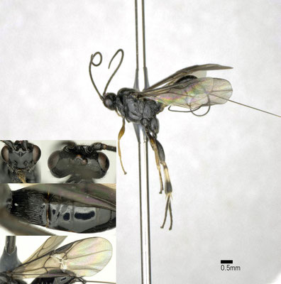 Thelophilus cingulipes (Nees, 1812) ♀ [det. Shunpei FUJIE]