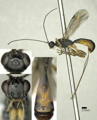 Hypodoryctes fuga Belokobylskij & Chen, 2004 ♀ [det. Shunpei FUJIE]