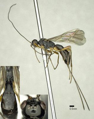 Ontsira ignea (Ratzeburg, 1852) カミキリオナガコマユバチ ♀ [det. Shunpei FUJIE]