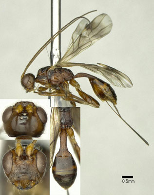 Spathius generosus Wilkinson, 1931 ♀ [det. Shunpei FUJIE]