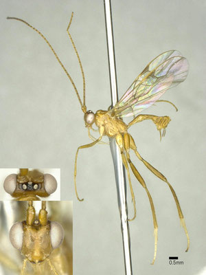Austrozele koreanus van Achterberg, 1993 ♀ [det. Shunpei FUJIE]