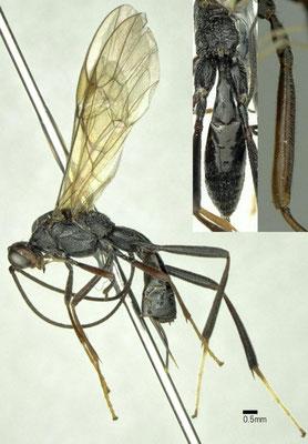 Zele deceptor (Wesmael, 1835) ニセオオハラボソコマユバチ  ♀ [det. Shunpei FUJIE]