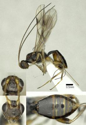 Spathius rubidus (Rossi, 1794) ♀ [det. Shunpei FUJIE]