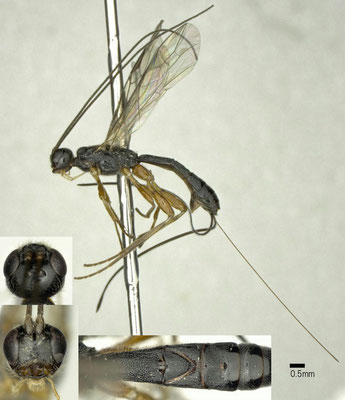Hypodoryctes torridus Papp, 1987 ♀ [det. Shunpei FUJIE]