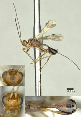 Spathius nixoni Belokobylskij & Maeto, 2009 ♀ [det. Shunpei FUJIE]