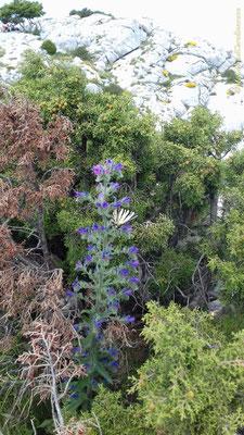 Vipérine à feuille de plantain et magnifique papillon