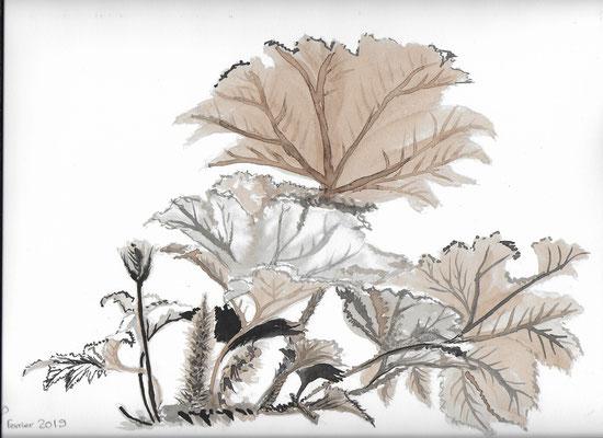 Rhubarbe fev 2019 brou de noix