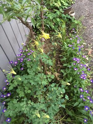 根本から10cm位葉っぱを残して水仙の葉をカット 5月10日